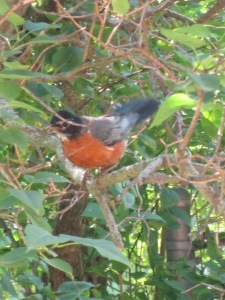 Baby Robins 2 003