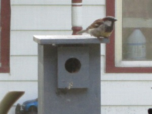 New Sparrow Neighbors