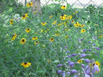 Black-eyed Susans and Hostas