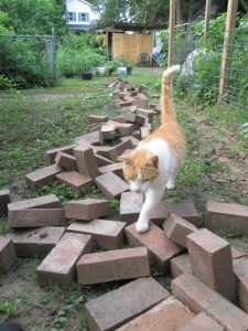 My cat Rikki-Tikki-Tabby walking on the bricks I pulled up from the path today.