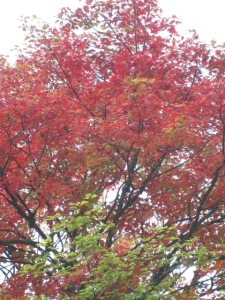 One of our maple trees