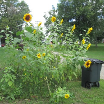 Sunflowers near the garage