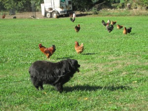 Danny calmly observing the chickens.