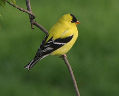 Goldfinch in the summer.