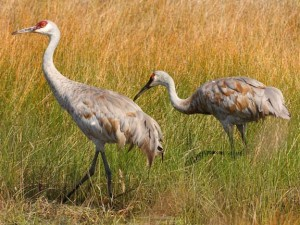 Sandhill Cranes Picture from: ecobirder.blogspot.com
