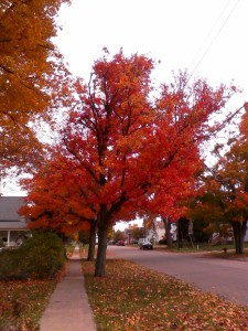 Our beautiful maple trees in the autumn.