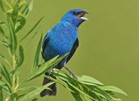 Indigo Bunting (Photo: All About Birds)