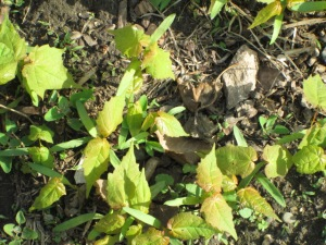 Maple seedlings