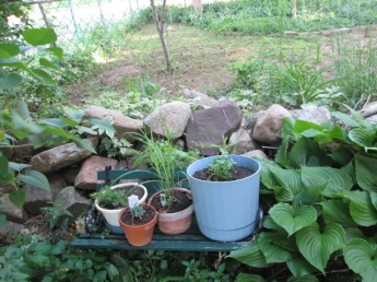 Herbs on the small bench under the lilac bush