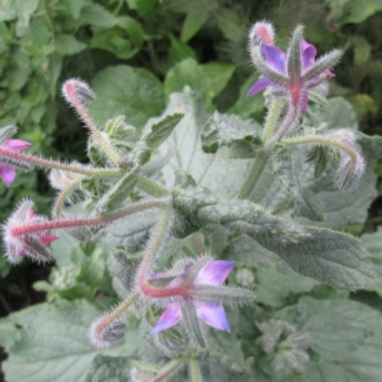 One of my Borage plants