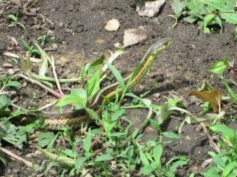 The garter snake