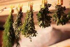 Hanging herbs to dry them.