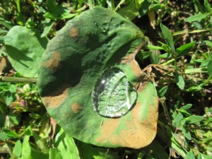 A leaf filled with rain or dew.