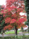 Our flaming red maple tree