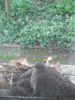 Mama Mourning Dove with her babies.