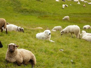 I spy a Great Pyrenees among the sheep game. Photo: http://polarbearstale.blogspot.com/
