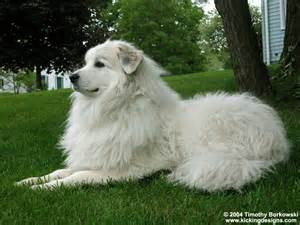 Great Pyrenees.  Photo from kapanlagi.com