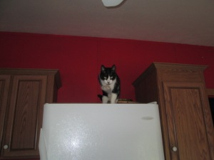 Silly Timmy loves to hang out on top of the fridge and cabinets.