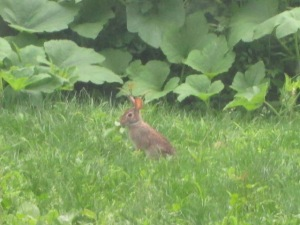 The little rabbit in our yard.