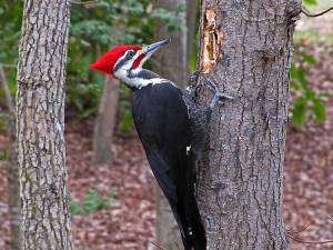 Pileated Woodpecker Photo from: thebirdpoint.wordpress.com