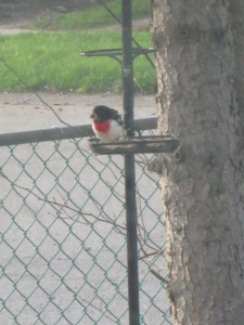 Rose-breasted Grosbeak at the feeder at our old house.