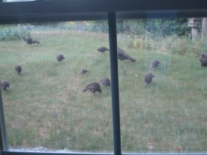 The turkeys