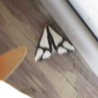 I saw this moth in July.