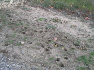 Lots of deer prints
