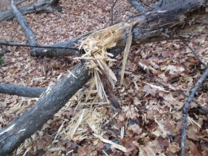 Pileated Woodpecker damage