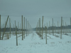 This is a hops farm. The hops will grow up the poles.
