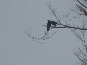 Two crows in the tree