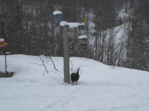 Turkey eating birdseed