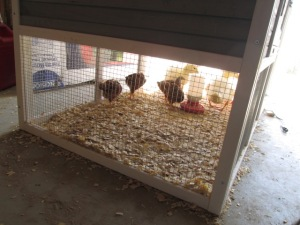 The chickens and ducks in their new home.