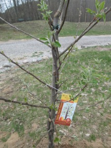 """One of our """"twisted"""" apple trees."""