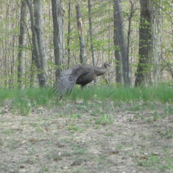 The female turkey