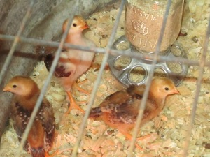 Three of the six baby chicks.