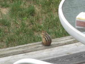 Chipmunk on the deck