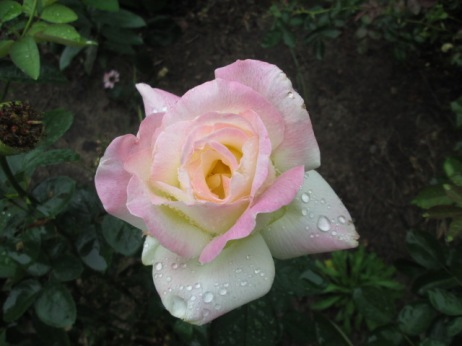 This beautiful rose is currently blooming
