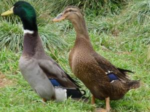 Male and female Rouen Ducks. Photo from PurelyPoultry.com