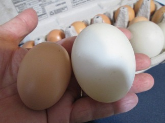 This is the difference between a chicken egg and a normal-sized duck egg.
