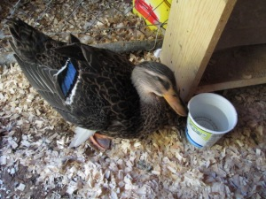 Our sick duck. By the time I took this photo, she could stand although she was still wobbling badly.