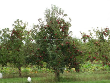 Tree heavy with apples