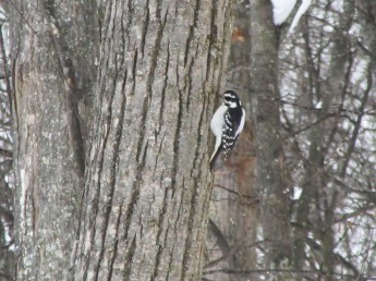 I think this is a Hairy Woodpecker.