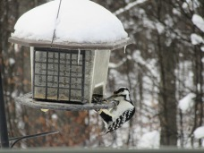 Hairy and Downy Woodpeckers look very similar--the biggest difference is size. I think this is a Downy?