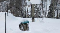 Three Woodpeckers