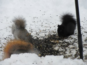 Red, gray, and black squirrels