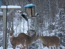 Deer at the feeder