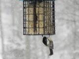 An upsidedown chickadee