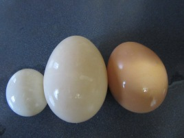 Left to right: fairy egg, duck egg, chicken egg. Duck eggs are usually larger than chicken eggs.