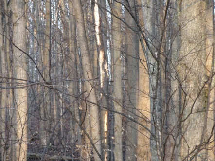 The tree in the center of the photo shows Pileated Woodpecker work.